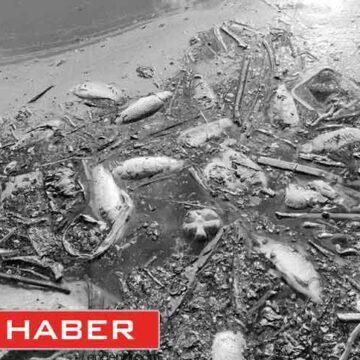 Denizlili oltacıların uğrak avlağı Yapraklı'da sazan ölümleri